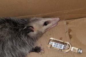 opossum breaks into liquor store