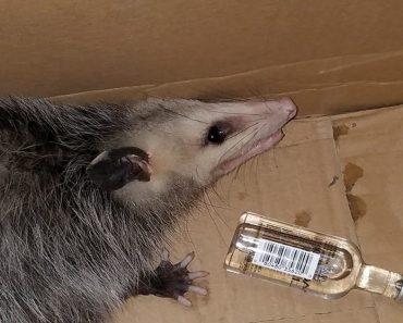 opossum breaks into liquor store