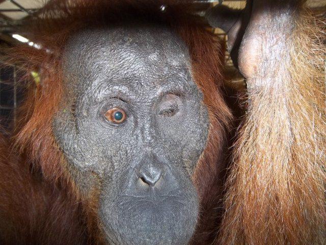 orangutan shot 100 times