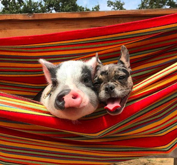 pig french bulldog best friends