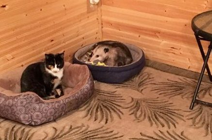 woman takes in opossum with her cats