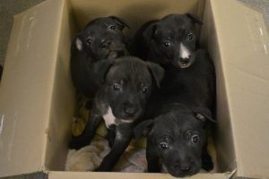 abandoned pit bull puppies