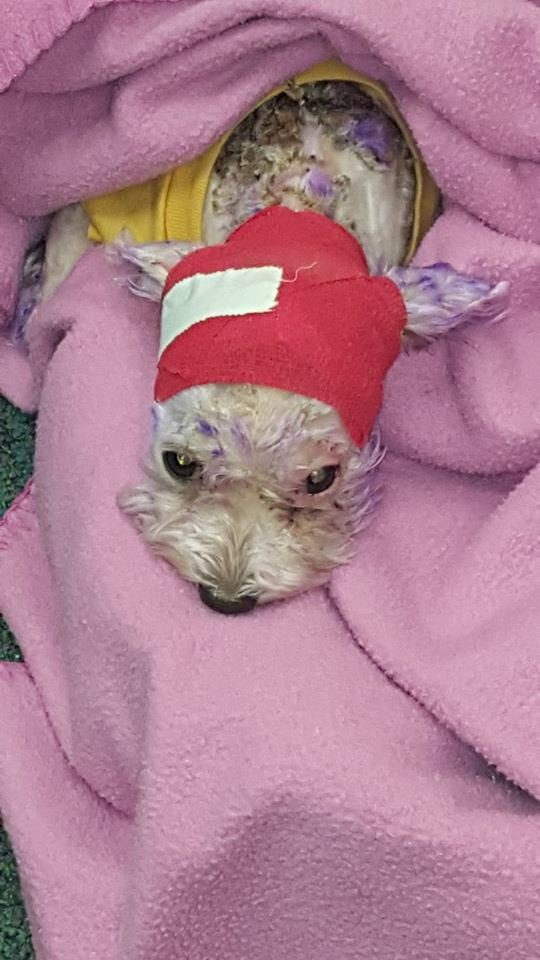 Abuser Dyed Dog S Hair Purple And Later Abandoned Her