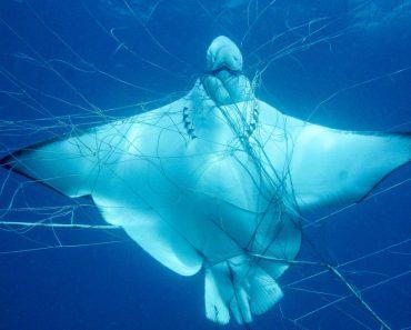 eagle rays caught shark nets