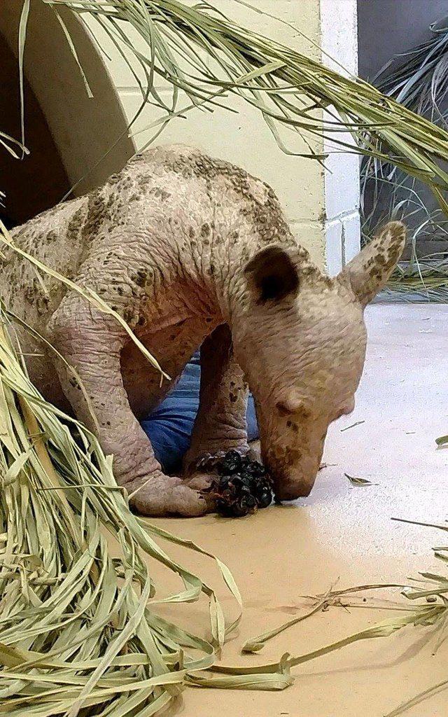 hairless bear cub