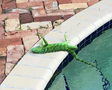 iguanas dropping from trees