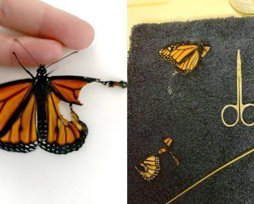 monarch butterfly torn wing surgery