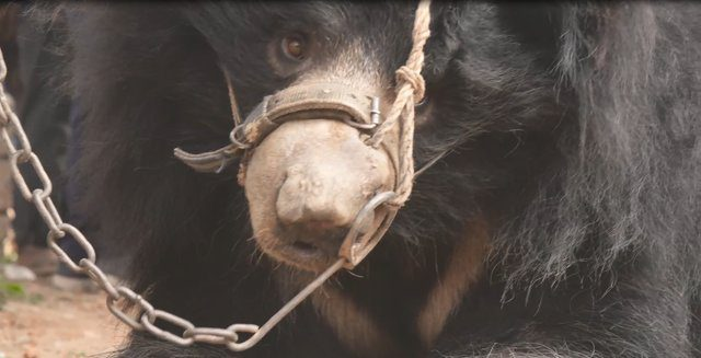 sloth bears freed from dancing