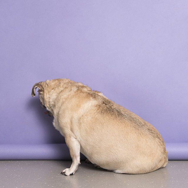 Blind overweight deaf senior pug