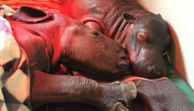 baby hippos meet and fall in love