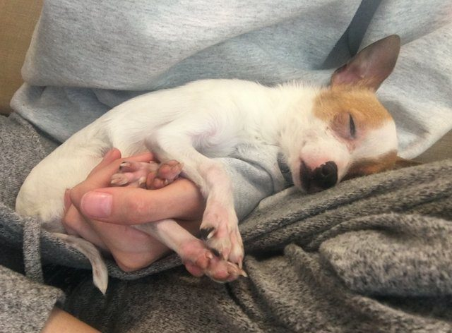 chihuahua rescued from pet shop
