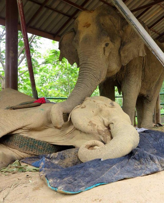 dog comforts dying elephant