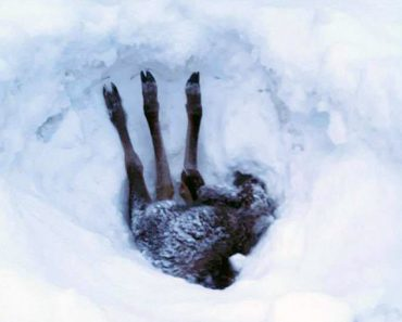 driver rescues baby moose trapped snow