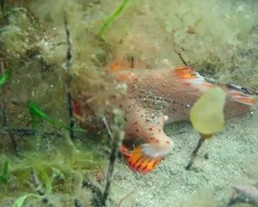 endangered red handfish