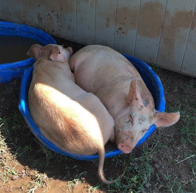 pig takes care of sick brother