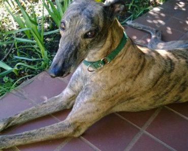 racing greyhound saves owner's life