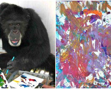 rescued chimp loves art