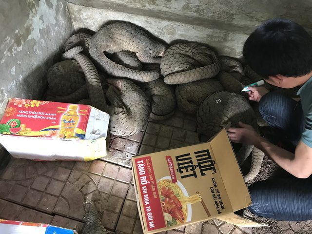 rescuers save pangolins