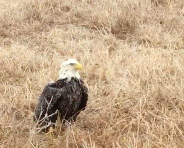 bald eagle stranded field
