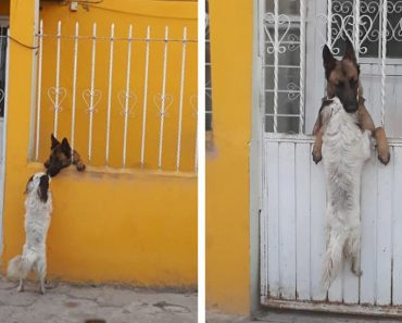 dog climbs fence visit friend