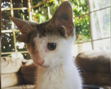 doubled-ear kitten