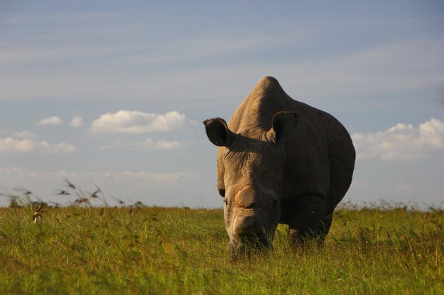 male northern white rhino