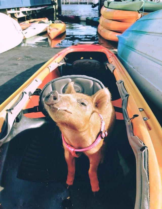 rescue pig goes beach