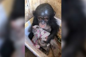 baby chimp cardboard box