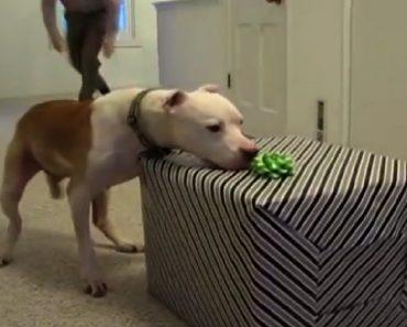 wallace pitbull birthday surprise