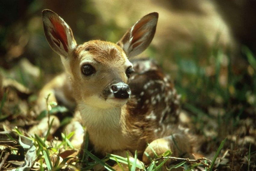 baby deer storm