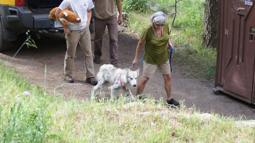 castiel the wolf dog goes home