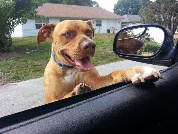pitbull loose streets cop facebook