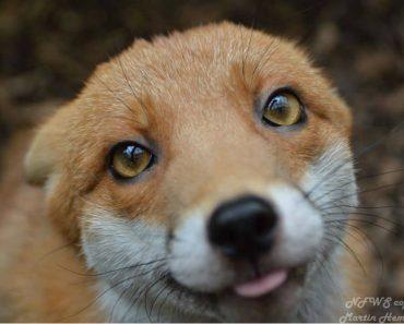 pudding tiny red fox