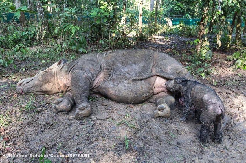 rare rhino calf birth