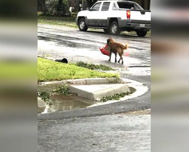hurricane harvey otis dog
