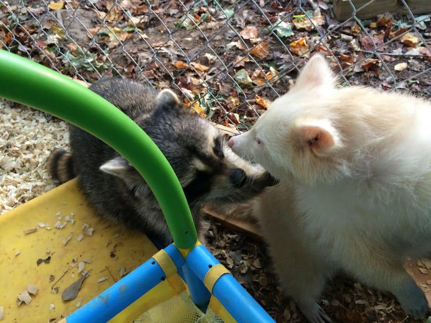 isis the albino raccoon