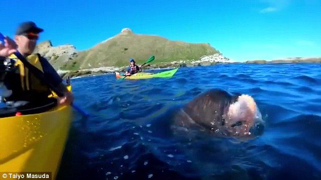 seal slaps kayaker with octopus