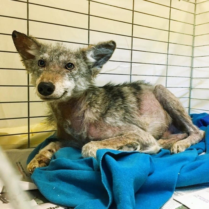 smiling rescued coyote ottawa