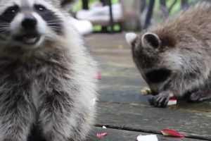 Raccoons Visit Deck Every Morning For Snacks