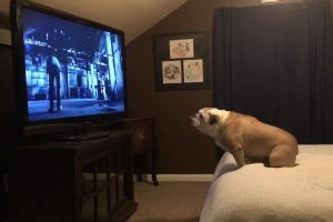 bulldog hysterical reaction to movie trailer