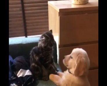 golden puppy vs scottish kitten fighting match