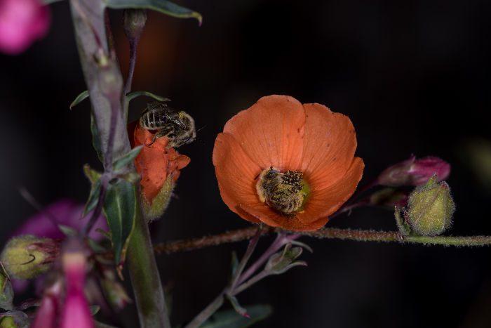 bees sleeping flower