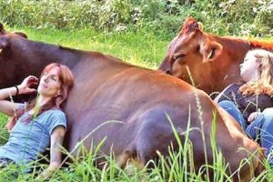 cow cuddling therapy
